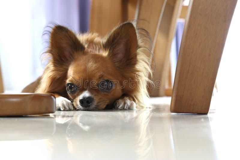 说谎说谎在地面上的奇瓦瓦狗狗 免版税库存图片