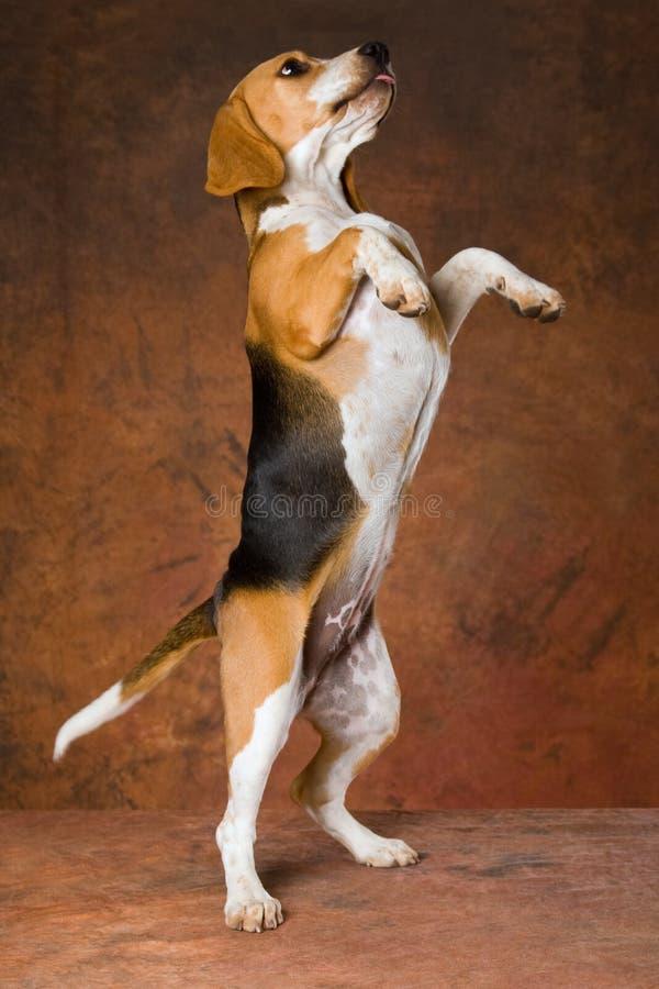 请求的小猎犬后腿 免版税图库摄影