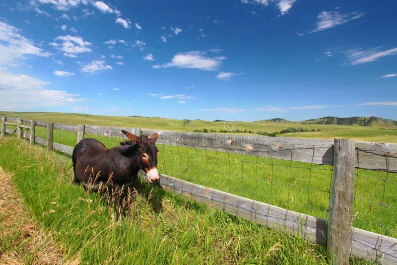 请求驮货驴子custer公园状态 免版税库存照片