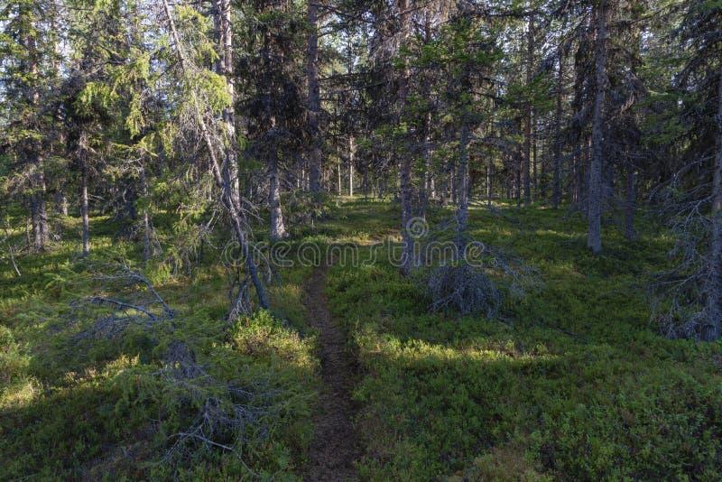 诺尔兰云杉和杉木在瑞典语拉普兰 免版税库存照片