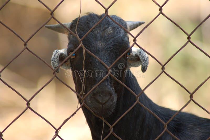 谁山羊? 图库摄影