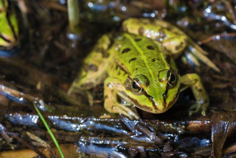 调查一只可食的青蛙的眼睛 免版税库存图片