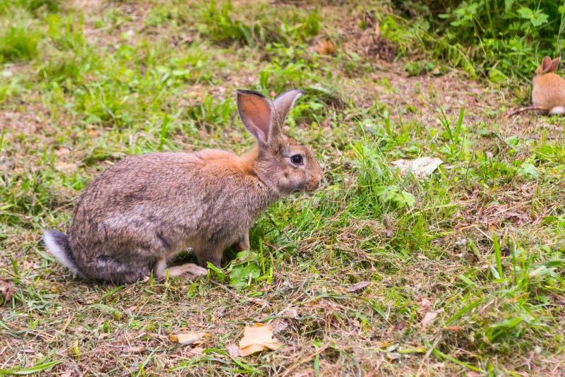 调查一只成人灰色兔子的特写镜头视图来了 库存照片