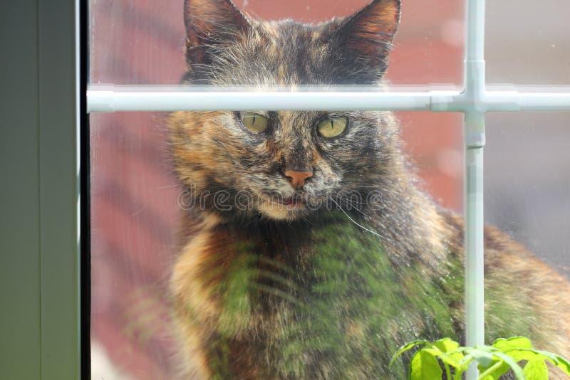 调查房子的猫通过窗口 图库摄影