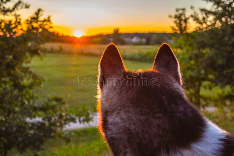 调查日落天空的多壳的狗 库存图片