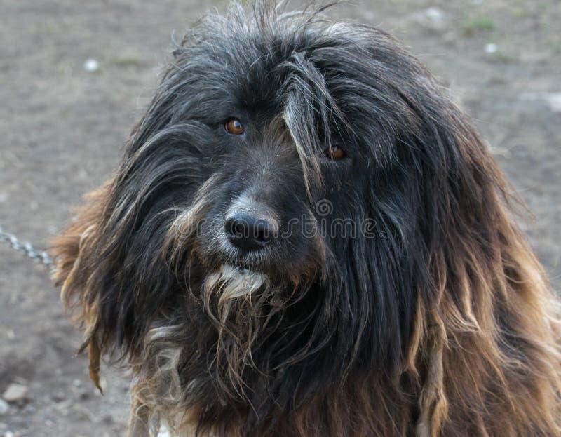 调查照相机的一条有胡子的大牧羊犬狗的画象 免版税库存照片