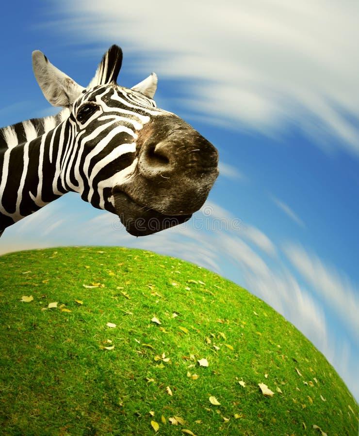 调查照相机的好奇斑马表面 免版税库存图片