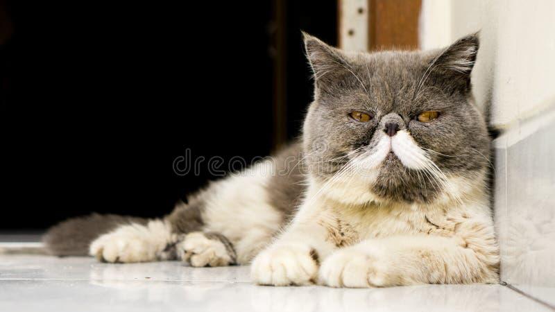 调查照相机的异乎寻常的Shorthair猫 图库摄影