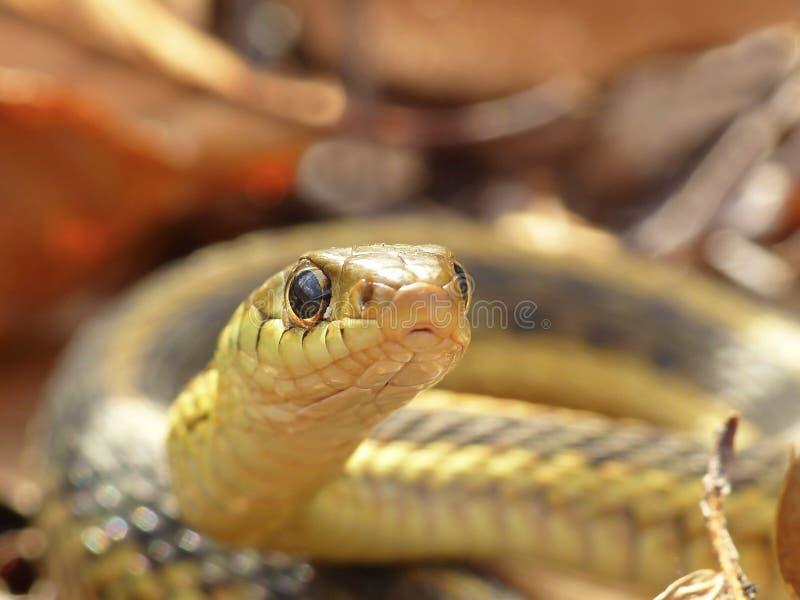 调查照相机的花纹蛇 图库摄影