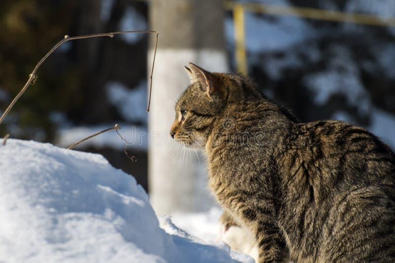 调查距离的虎斑猫 库存图片