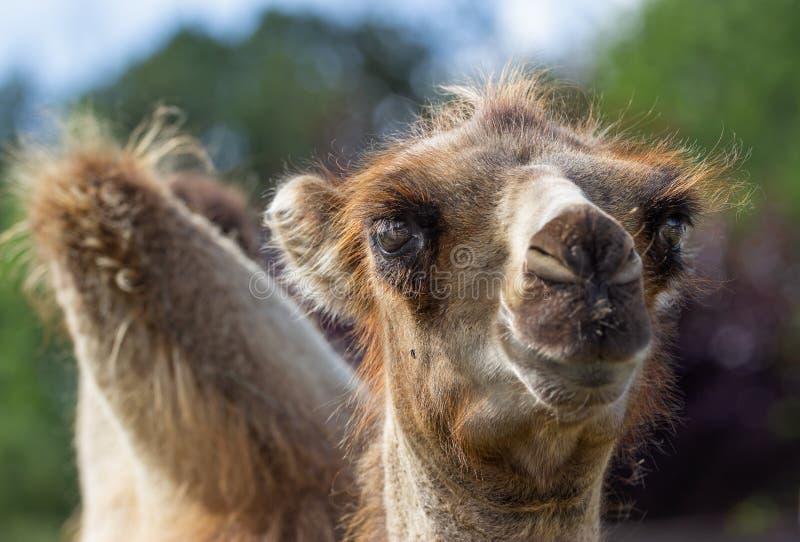 调查透镜的一头幼小骆驼的画象 免版税库存照片