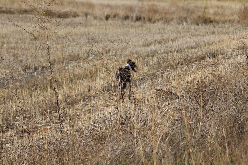 调试曾经寻找野兔的西班牙种族的美丽的狗 图库摄影