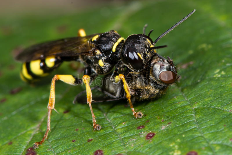 调遣掘土蜂(Mellinus arvensis)与hoverfly牺牲者 图库摄影