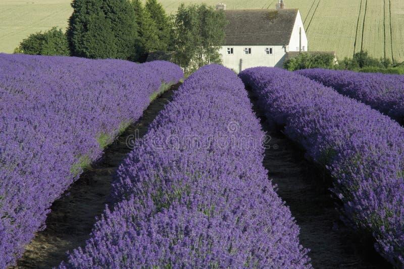 调遣淡紫色 库存图片