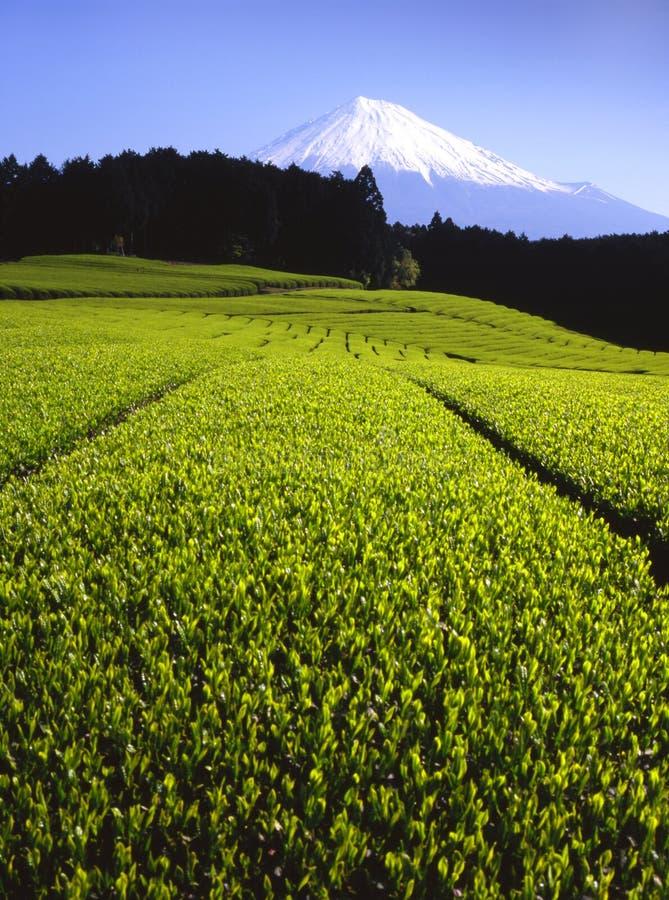 调遣绿茶 库存图片