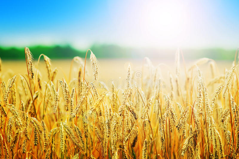 调遣麦子黄色 免版税库存照片