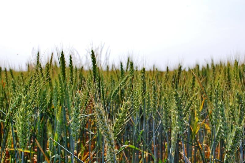 调遣绿色麦子 免版税图库摄影