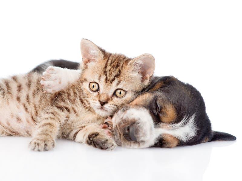 说谎与贝塞猎狗小狗的平纹小猫 查出在白色 免版税库存图片