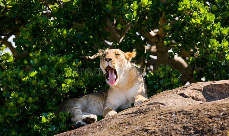 说谎在一个大岩石的幼小狮子 国家公园 肯尼亚 坦桑尼亚 mara马塞语 serengeti 免版税库存照片