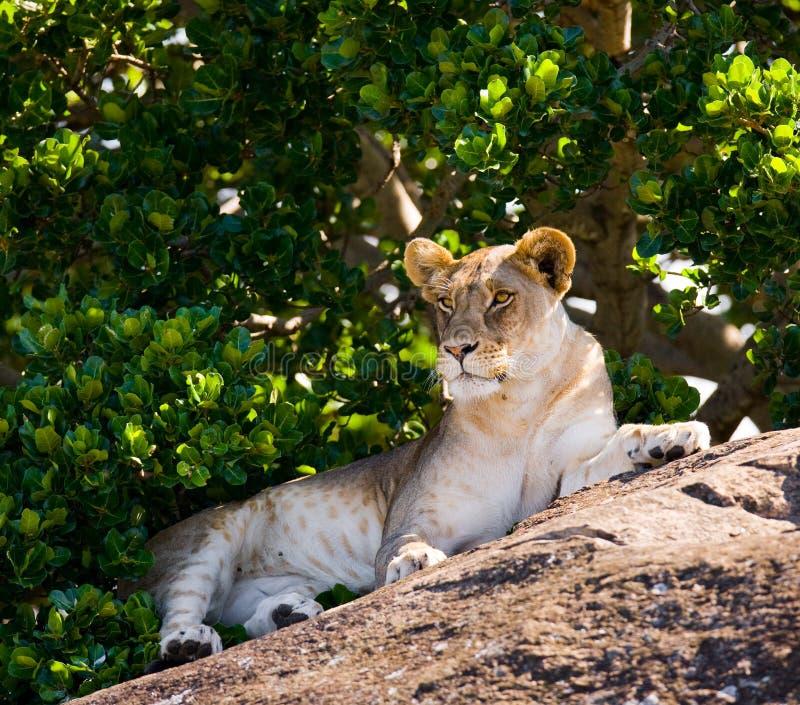 说谎在一个大岩石的幼小狮子 国家公园 肯尼亚 坦桑尼亚 mara马塞语 serengeti 免版税库存图片