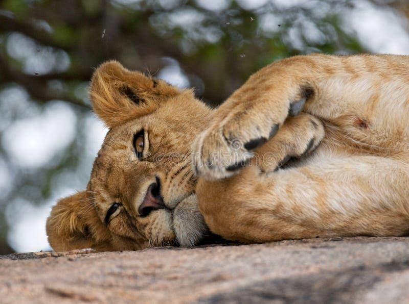 说谎在一个大岩石的幼小狮子 国家公园 肯尼亚 坦桑尼亚 mara马塞语 serengeti 库存图片