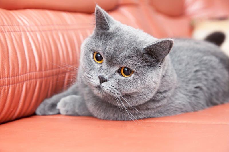 说谎在一个红色长沙发的英国灰色猫 免版税库存照片