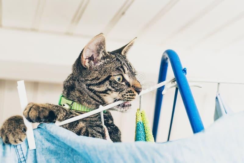 说谎在三脚马顶部的淘气灰色平纹小猫 免版税库存照片