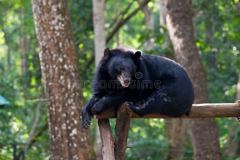 说谎在上升的设备的亚洲黑熊 免版税图库摄影