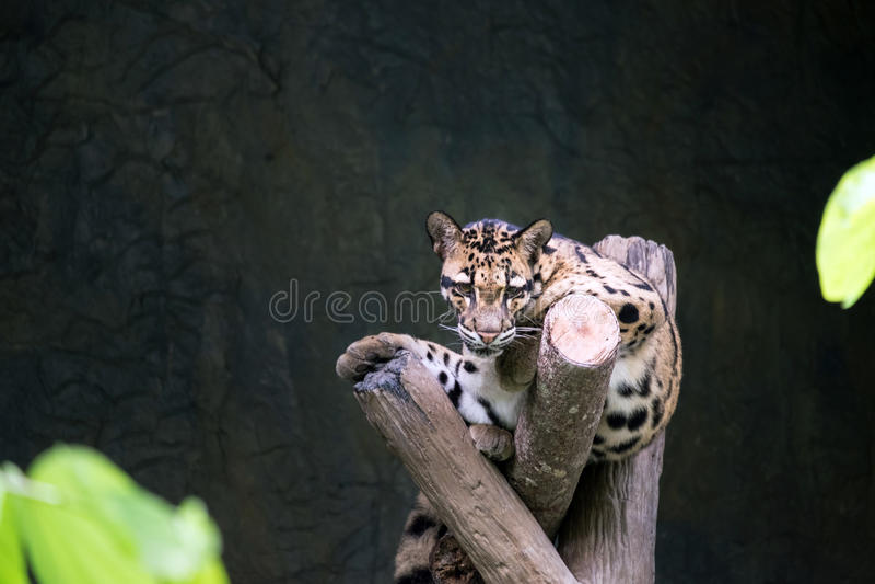 说谎在分支的被覆盖的豹子 库存图片