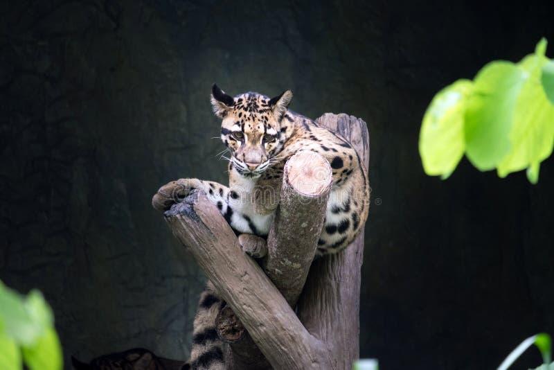 说谎在分支的被覆盖的豹子 免版税库存图片