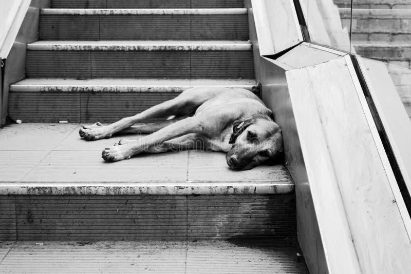说谎在台阶的无家可归的狗 库存照片