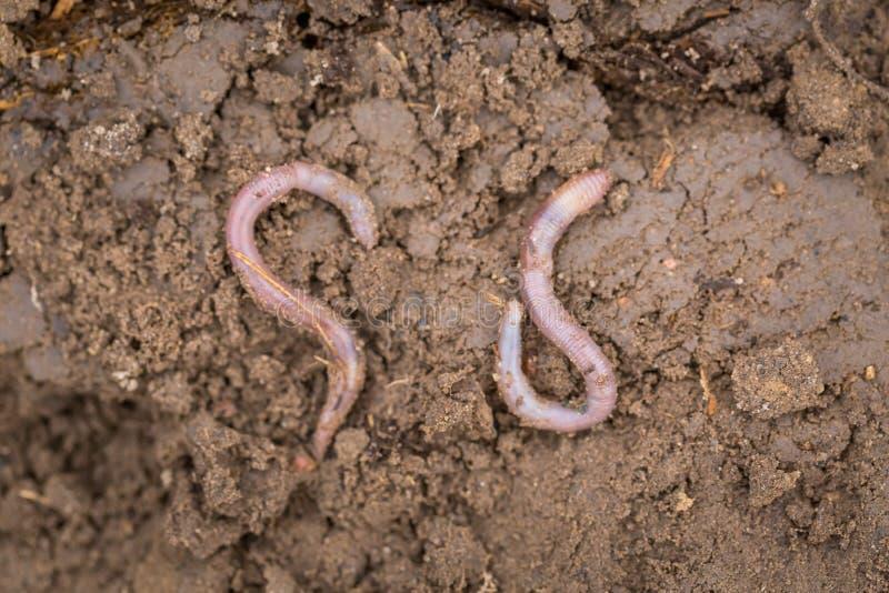 说谎在土壤的蚯蚓 免版税库存照片