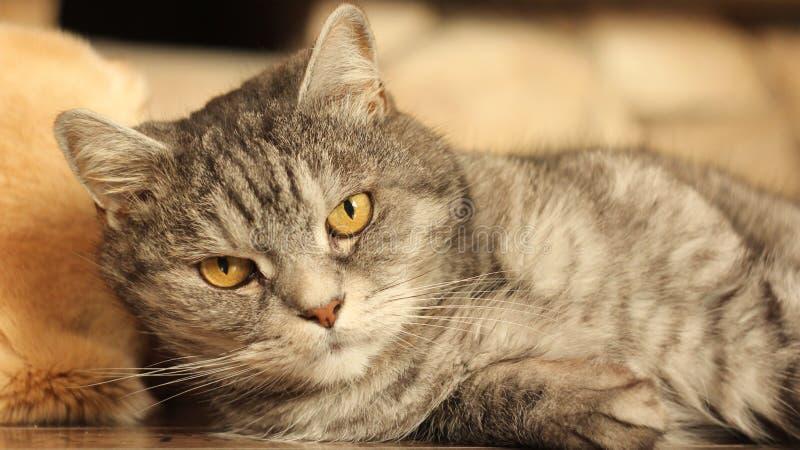 说谎在地板上的猫在家庭2 免版税库存照片