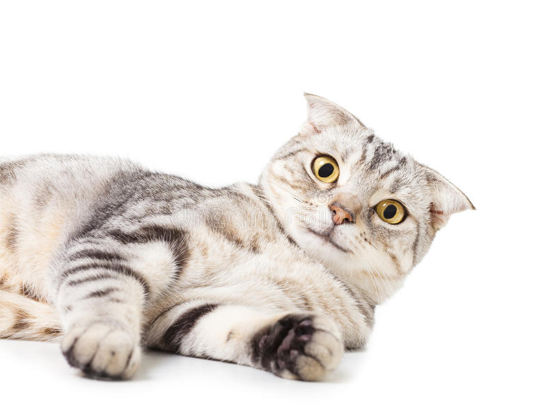 说谎在地板上的逗人喜爱的猫 在空白背景 免版税库存图片