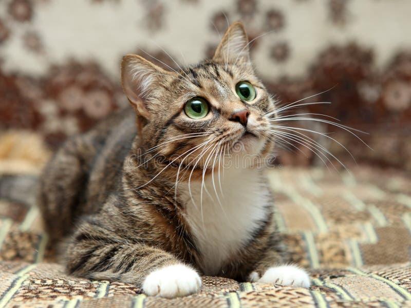 说谎在地毯的灰色条纹猫 免版税库存图片