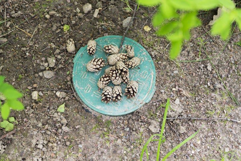 说谎在地面上的杉木锥体在森林 库存图片
