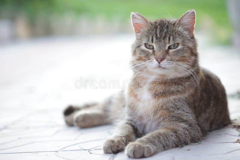 说谎在地面上的镶边家猫画象  库存图片