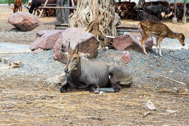 说谎在地面上的年轻男性waterbuck 免版税库存照片