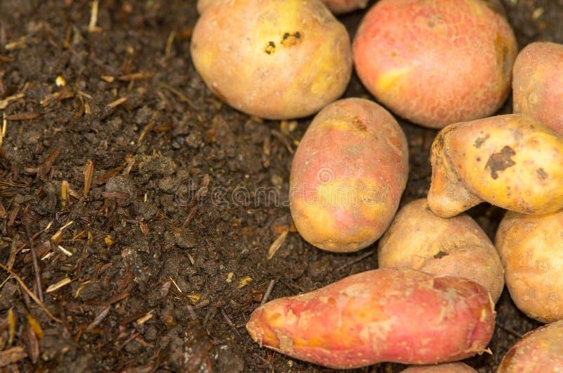 说谎在地面的土豆 免版税库存照片