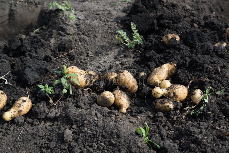 说谎在地面的新近地被开掘的土豆 库存图片