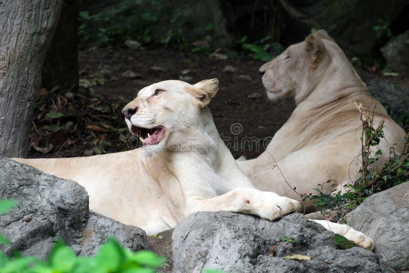 说谎在岩石的母白色狮子 免版税库存图片
