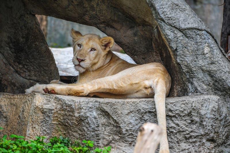 说谎在岩石的母白色狮子 免版税库存照片