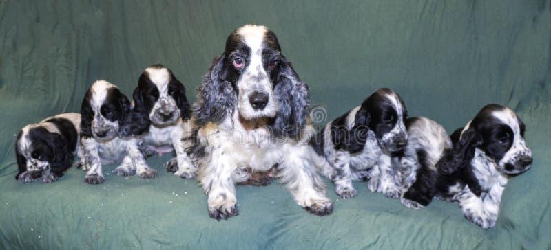 说谎在有小狗的沙发的母英国斗鸡家 库存图片