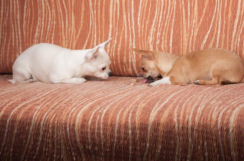 说谎在有耐嚼的款待的沙发的两条奇瓦瓦狗狗 图库摄影