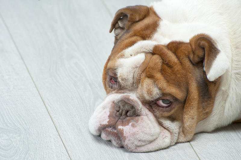 说谎在木地板上的英国牛头犬的画象 库存图片