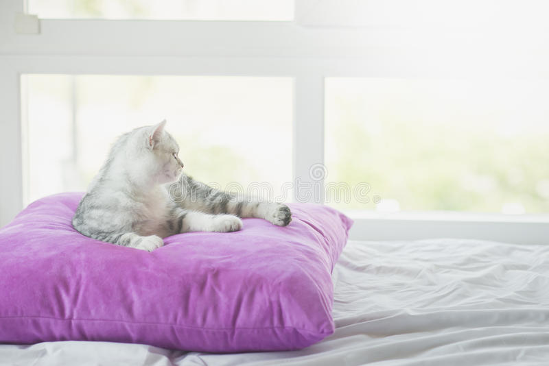 说谎在枕头的逗人喜爱的美国人Shorthair猫 免版税库存图片