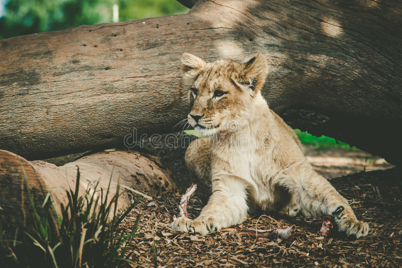 说谎在树干下的幼小幼狮 免版税库存照片