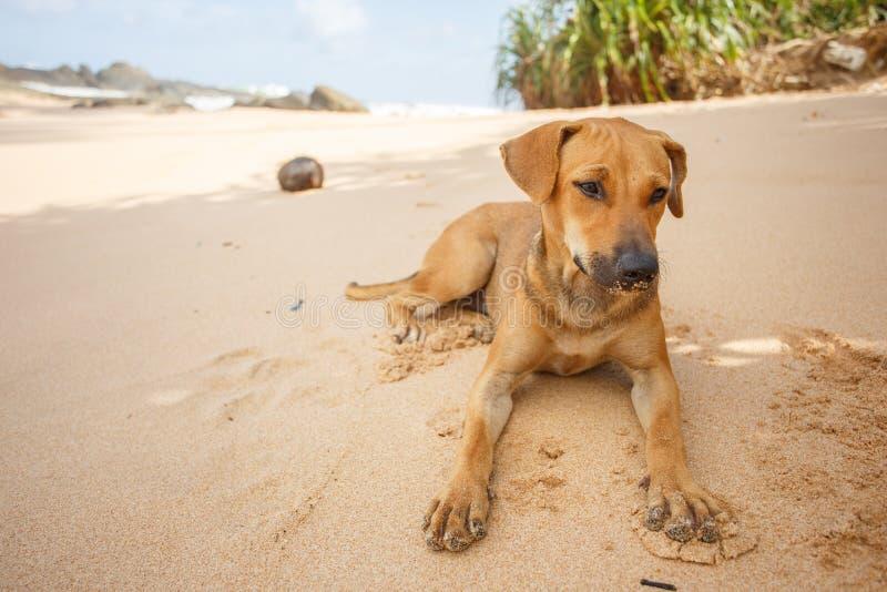 说谎在沙子的狗 免版税图库摄影