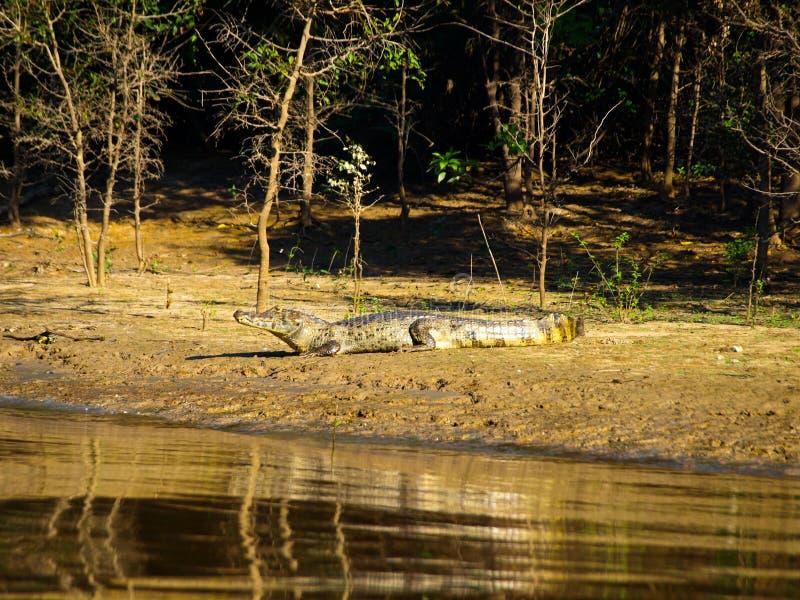 说谎在河岸的鳄鱼 库存照片