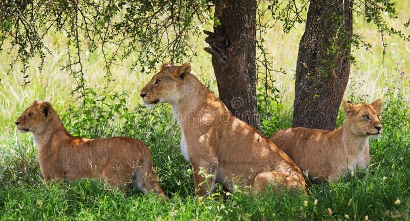 说谎在灌木下的一个小组幼小狮子 国家公园 肯尼亚 坦桑尼亚 mara马塞语 serengeti 免版税库存图片